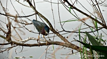 Loxahatchee National Wildlife Refuge Birdlife: Little Green Heron