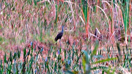Loxahatchee National Wildlife Refuge Birdlife: Little Blue Heron