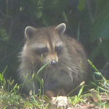 Mangrove Animals: Raccoon