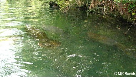 Manatees by mangrove coast