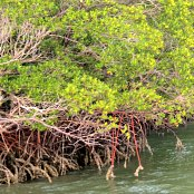 Mangrove forests protect our shores