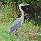 Mangrove Waterbirds: Blue Heron