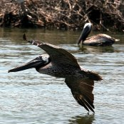 Mangrove Waterbirds: Brown Pelican