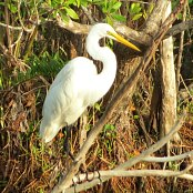 Mangrove Waterbirds: Egret