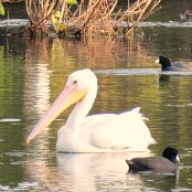 Mangrove Waterbirds: White Pelican
