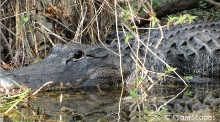 Alligator at Mangrove Wilderness Boat Tour