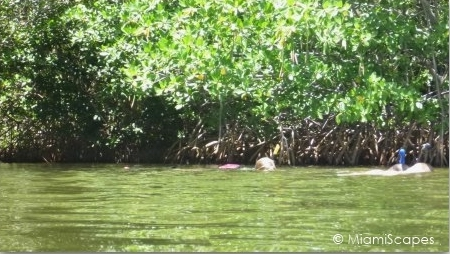 Snorkeling along the mangrove shore at Pennekamp