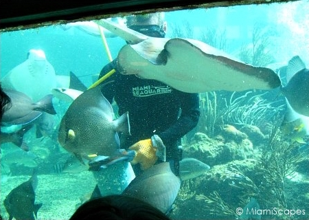 Miami Seaquarium Tropical Reef Aquarium Diver feeding the fish