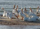 White Pelicans at 10000 Islands