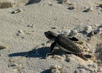 Sea Turtle hatchling crawling to ocean
