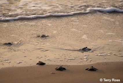 Newly hatched sea turtle hatchlings crawling to the surf