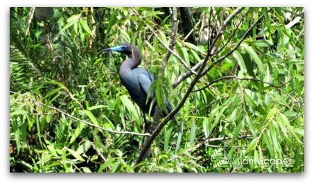 Little Blue Heron at Shark Valley Loop Road