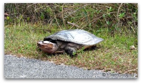 Turtle at Shark Valley Loop Road
