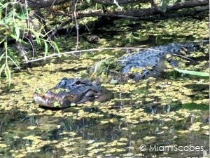 Alligators at Shark Valley