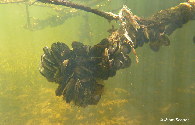 Snorkeling from the Beach, mangrove roots and clam growth