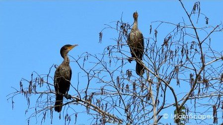 Cormorants on trees on Tamiami Trail