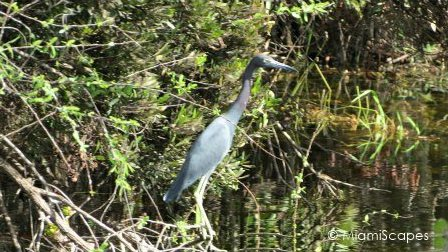 Heron alongside canal on Tamiami Trail