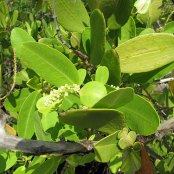 White Mangrove leaves