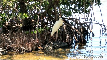 Great Egret at the salt pond at the Sanctuary