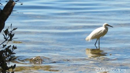 Snowy Egret in the shallows at the Sanctuary