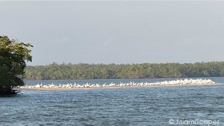 Flock of wintering White Pelicans at the 10000 Islands