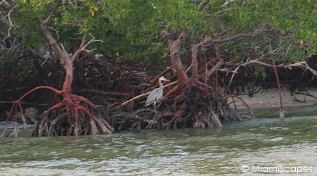 Red Mangrove estuaries of the 10000 Islands