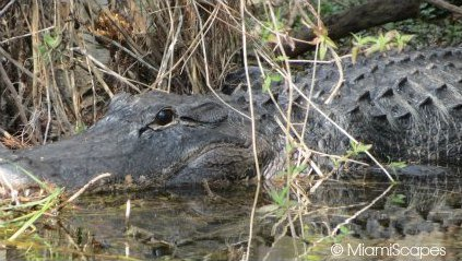 Alligator at Big Cypress National Preserve