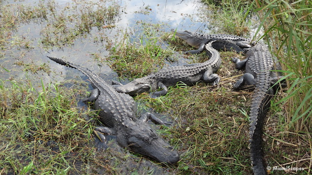 Alligators by water hole at Anhinga Trail
