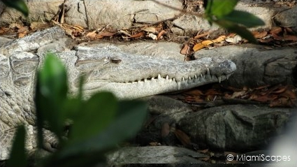 American Crocodile at Flamingo Marina