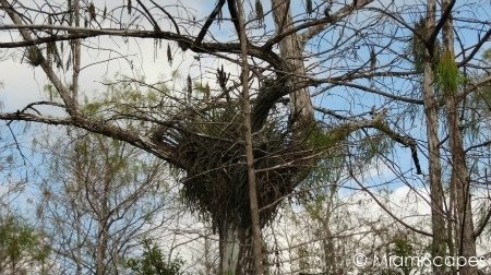 Air plants on trees at Kirby Storter at Big Cypress Preserve
