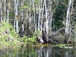 Heron at HP Williams Roadside Park at Big Cypress