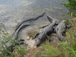Alligators at Oasis Visitor Center at Big Cypress National Park