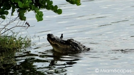 Alligator with fish in mouth at Oasis Visitor Center at Big Cypress Preserve