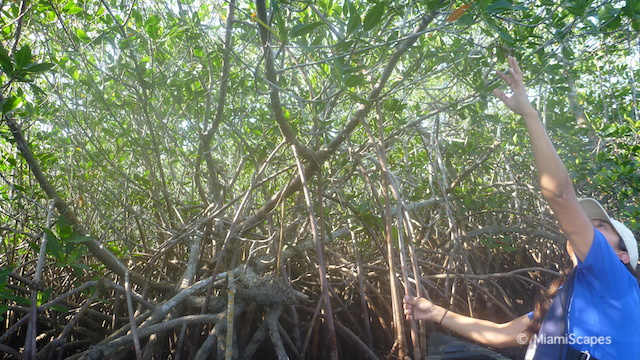 Canoeing in Biscayne National Park - Mangrove Forest