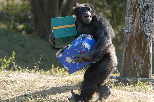 Chimp with Christmas Presents  at Zoo Miami