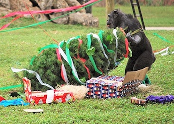Christmas With the Chimps at Lion Countri Safari
