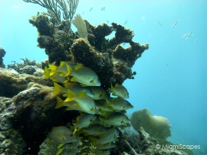 Diving French Reef in Key Largo