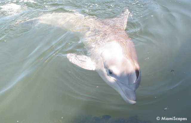 Playful Dolphin at the Dolphin Research Center