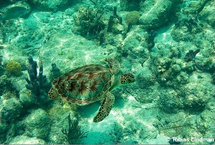 All five species of sea turtles in Florida are either endangered or threatened