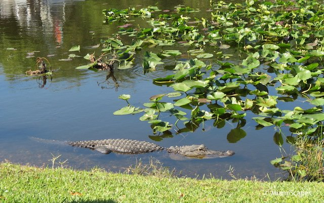 Everglades Airboat Tour: an alligator
