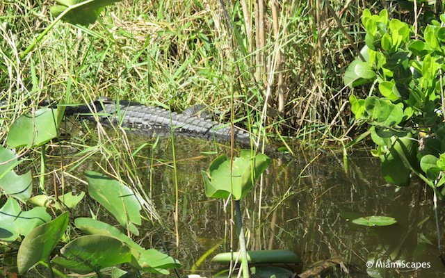Everglades Airboat Tour: Gators