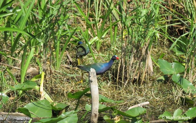 Everglades Airboat Tour: Purple Gallinule