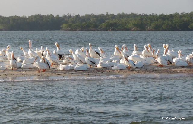 Pelicans at Everglades at Gulf Coast