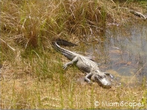 Alligator sightings in dry season