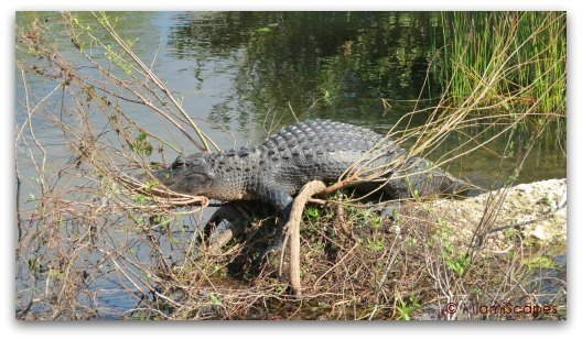 Alligators at the Anhinga Trail at the Everglades