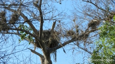 Eagle nest at Fakahatche Strand Big Cypress Bend Boardwalk
