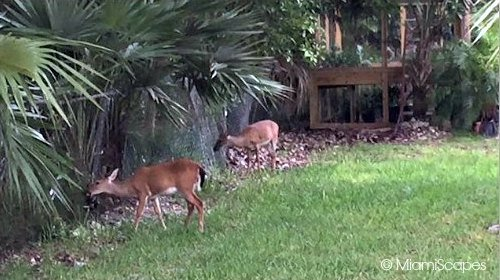 Florida Key Deer feeding off thatch palms
