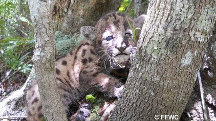 Florida Panther Kitten with spots on Tree