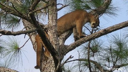Endangered Florida Panther on tree