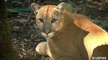 Florida Panther is NOT black, its color is a tawny lighter brown